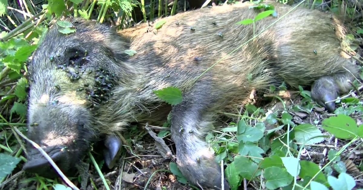 ASP-infiziertes Schwein